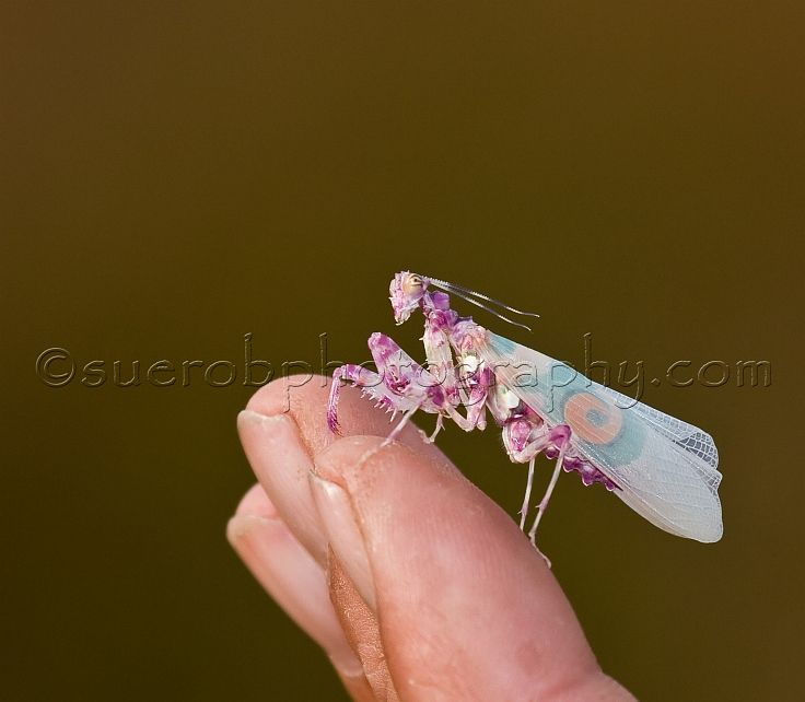 african flower mantis | Painting inspiration - underwater ...