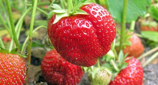 The great Kiwi pavlova just wouldn't be the same without a generous topping of delicious red strawberries. Grow your own this season and you'll be the family favourite! Plant in garden beds, pots and containers and harvest a bumper crop of homegrown strawberries this summer. Click here for a guide to growing strawberries in guttering.