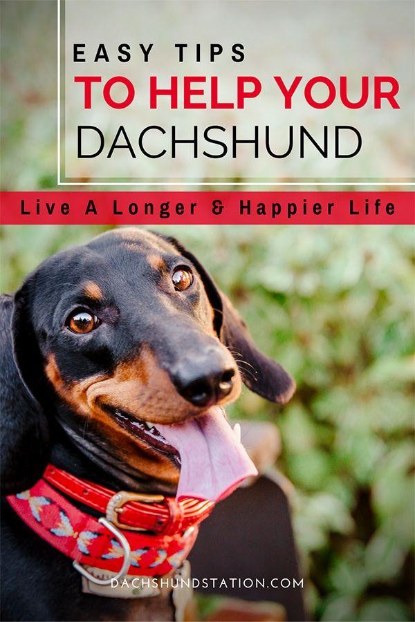 3 Easy Ways To Keep Your Dachshund Healthy Dachshund Station Dachshund Puppies Dachshund Dachshund Dog