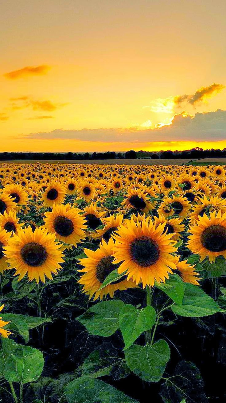 Sunset View From Sunflower Field