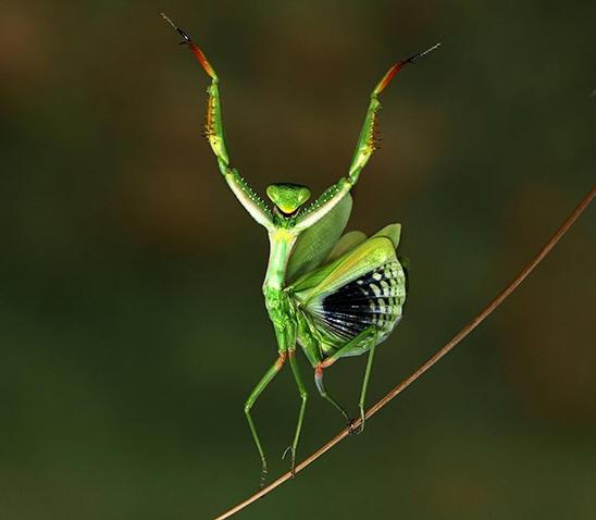 Mediterranean Mantis
