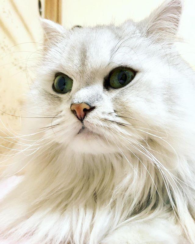 ちょっと神経質で、すごく甘えん坊のトトちゃん  #猫 #ねこ #にゃんこ #ペルシャ #チンチラシルバー #男の子 #愛猫 #緑の目 #トト #トト神 #から名前を頂きました