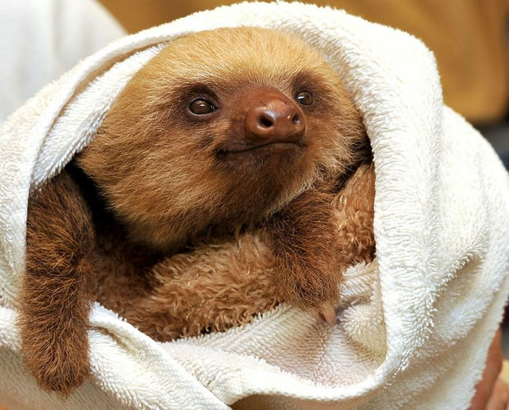sloth in a towel