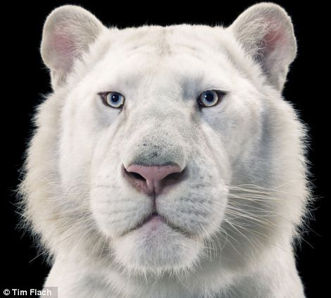 A white tiger looking proudly