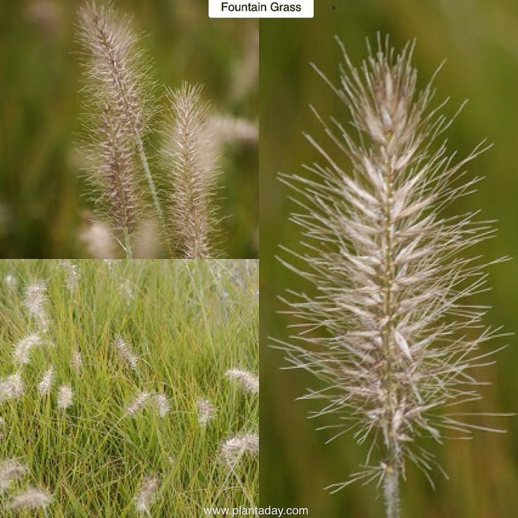 56 best grasses clump forming non invasive images on for Ornamental grass that looks like wheat