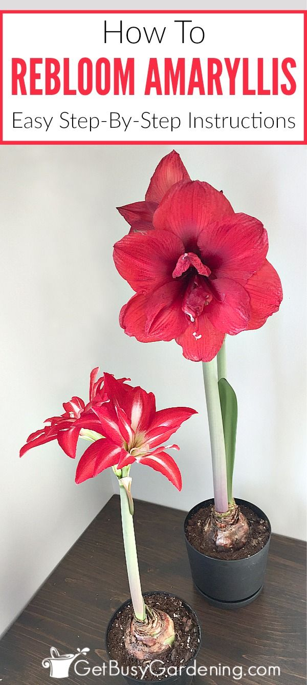 Amaryllis plant care instructions - How To Rebloom Your Amaryllis Plants