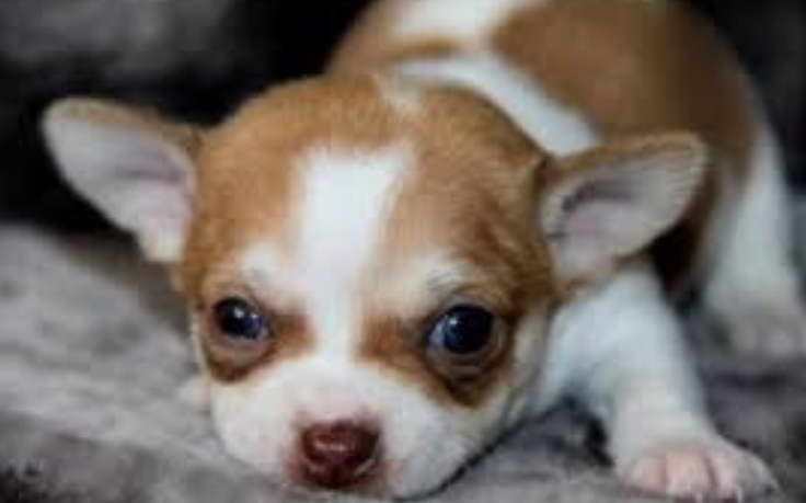 Chihuahua Puppies For Sale In Houston Tx Chihuahua Puppies Chihuahua Puppies For Sale Chihuahua
