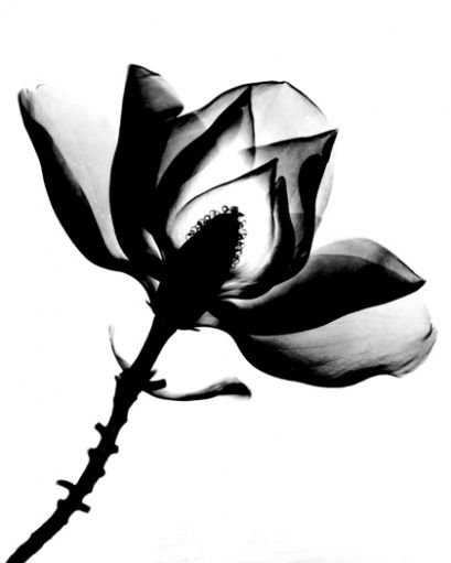 Positive X-ray of magnolia blossom by Bert Myers Photography on The Bazaar
