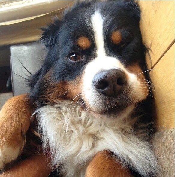 Cutest puppy - Burmese Mountain dog