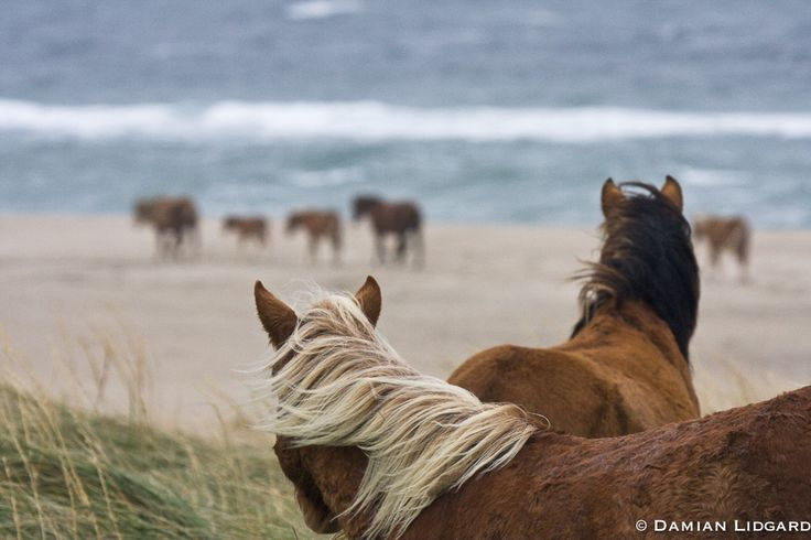 Lidgard Photography — Nature photography from Sable Island   Sable Island wild horses   Lidgard Photography