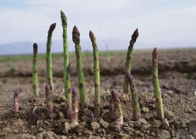 La coltivazione dell'asparago un investimento sul futuro La coltivazione dell'asparago una risorsa per il futuro tecniche di coltivazione da seme con piantine acquistate o piantate in loco scelta del seme terreno ottimale. Una tecnica molto affermata è q #asparago #biologico #campodiasparago