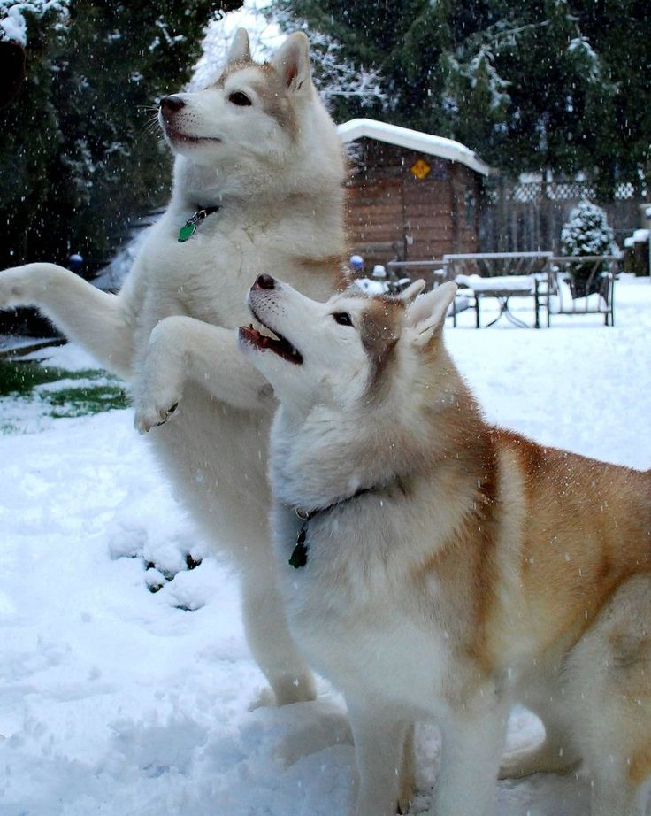Alaskan Malamutes are the best dogs in the world.