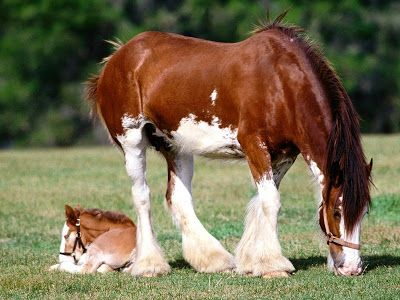 Clydesdale Horses Pictures and Information