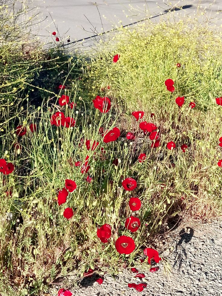 A field full of poppies!