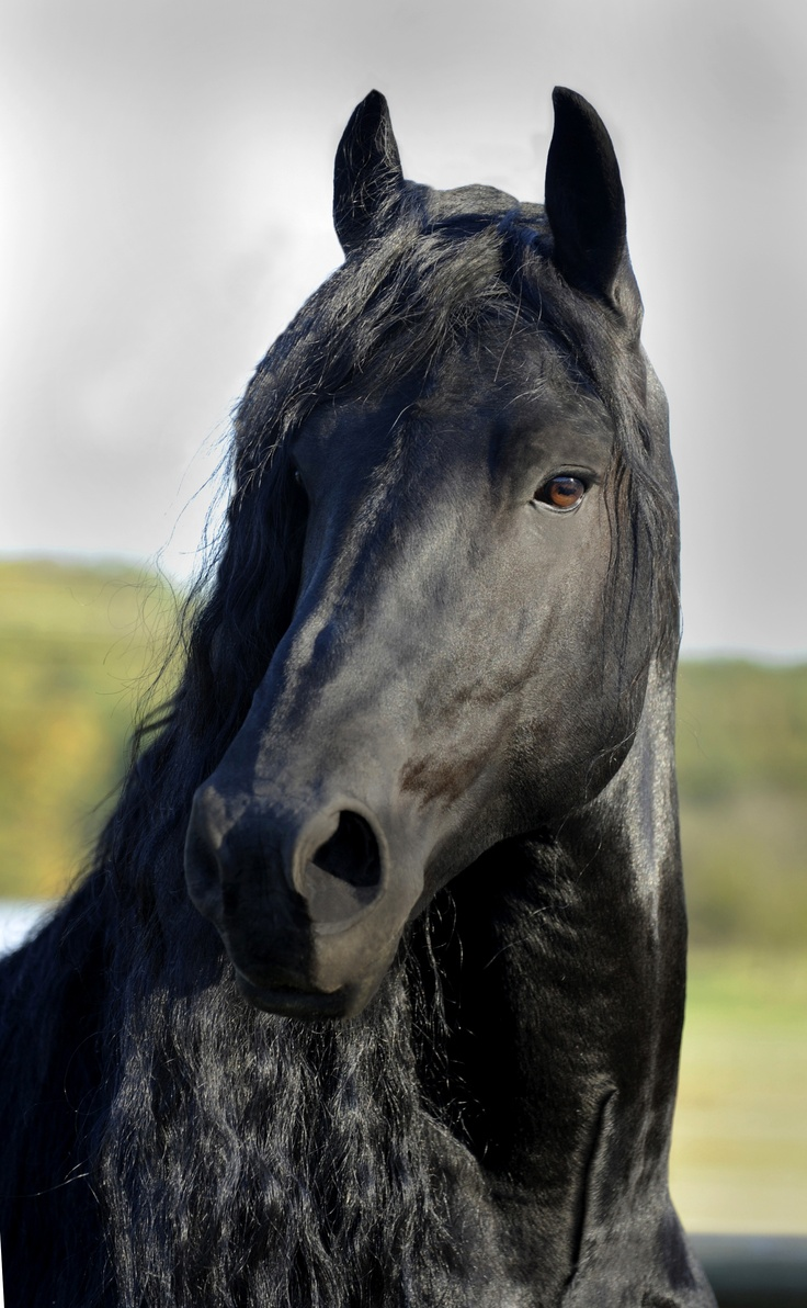 Pinnacle Friesians, Frederik the Great