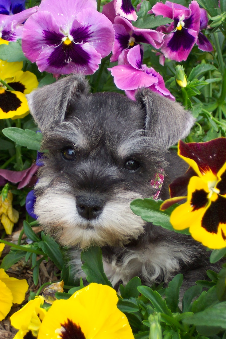 Piper. Really? Schnauzer puppy AND pansies?? Two of my most favorite things in the whole world!