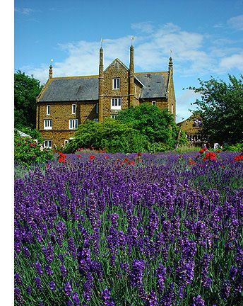 Norfolk Lavender at Heacham, Norfolk, England. great place to visit in summer when Lavender flowering. Lovely tea room & shop
