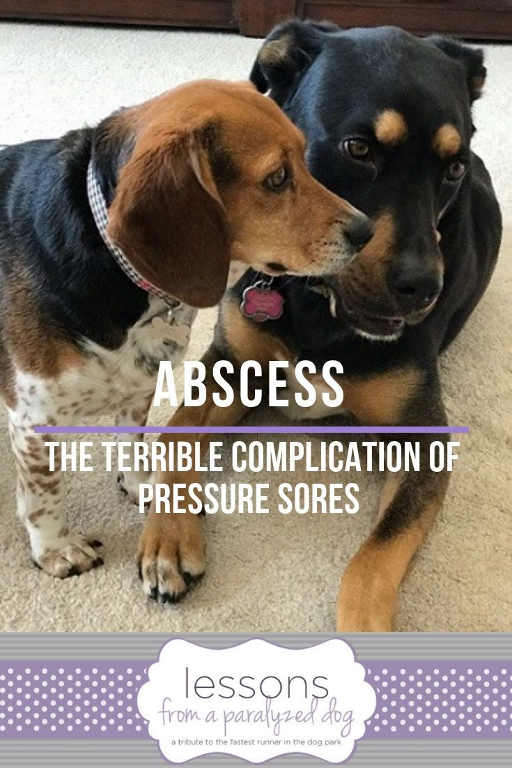 Abscess The Dangerous Complication Of Pressure Sores Senior Dogs