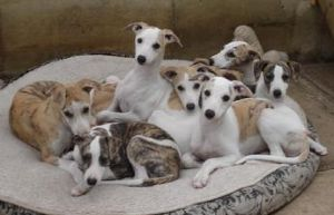 Cute whippet puppies