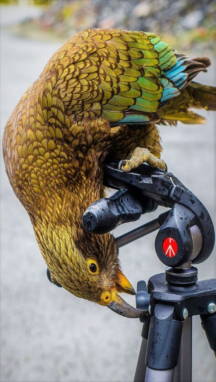 NEW ZEALAND KEAS....live in forested and alpine regions of the South Island of New Zealand....measure 17 - 19inches long....the world's only alpine parrot