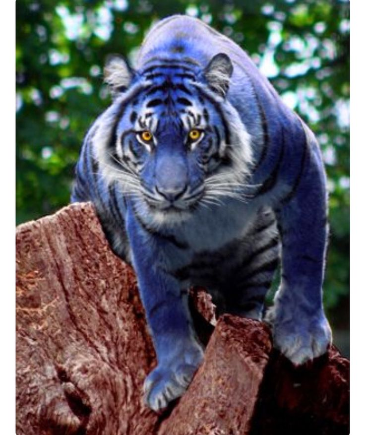 Could you imagine seeing a blue tiger for real, would you pinch yourself to see if you were awake or dreaming?