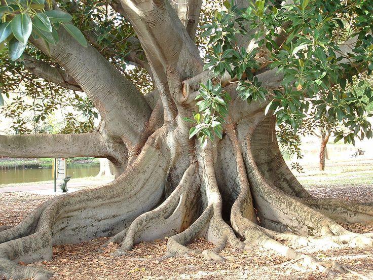 Perth Hyde Park Fig-tree, Western Australia