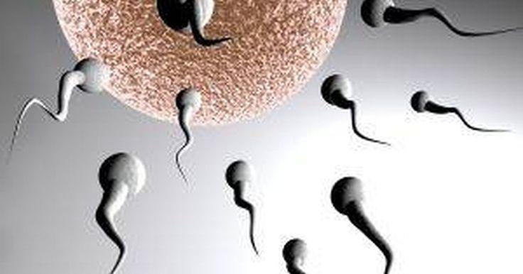 ¿Qué es un cigoto?. Un cigoto se produce cuando un óvulo y un espermatozoide se unen. El tiempo es lo que hace la diferencia entre un cigoto y un embrión.