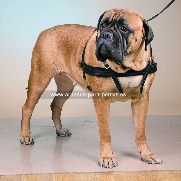 arnés#paseo#bullmastiff   Arnés paseo y remolque perro Bullmastiff - >  36,65 €
