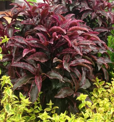 Looking For Great New Plants™ For Your Southern Landscape This Spring?  Check Out Whatu0027s
