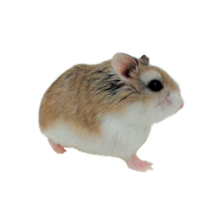Roborovski Hamsters are a species of dwarf hamster also known as Robos or Robo dwarf hamsters. Come see Roborovski Hamsters for sale at a Petco near you.