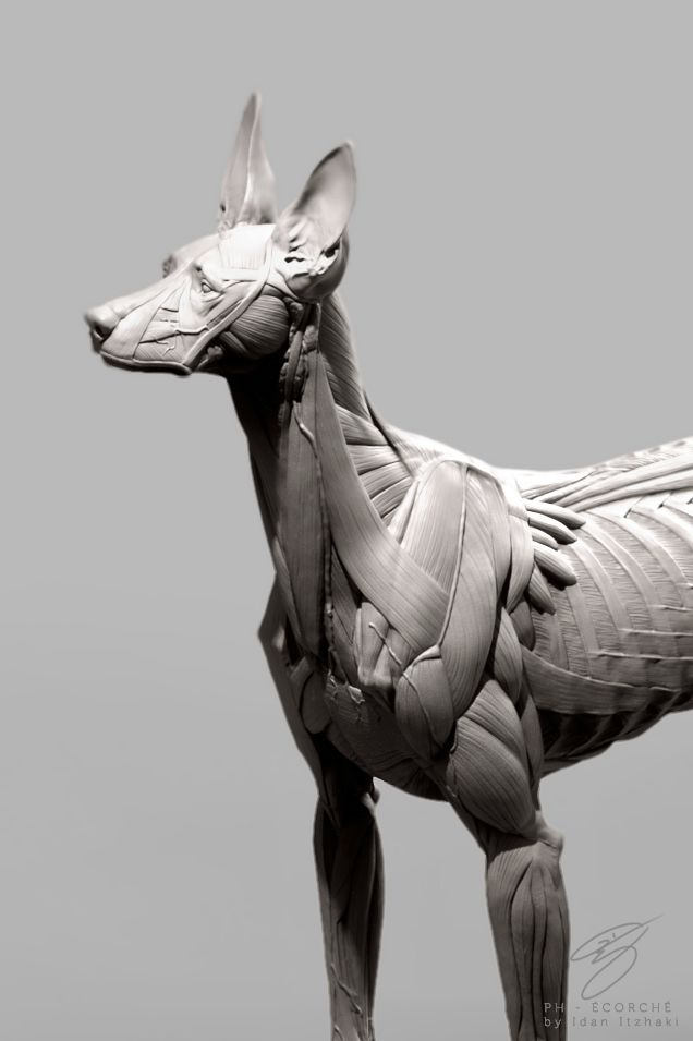 551 best Animal Anatomy images on Pinterest | Animal anatomy, Animal ...
