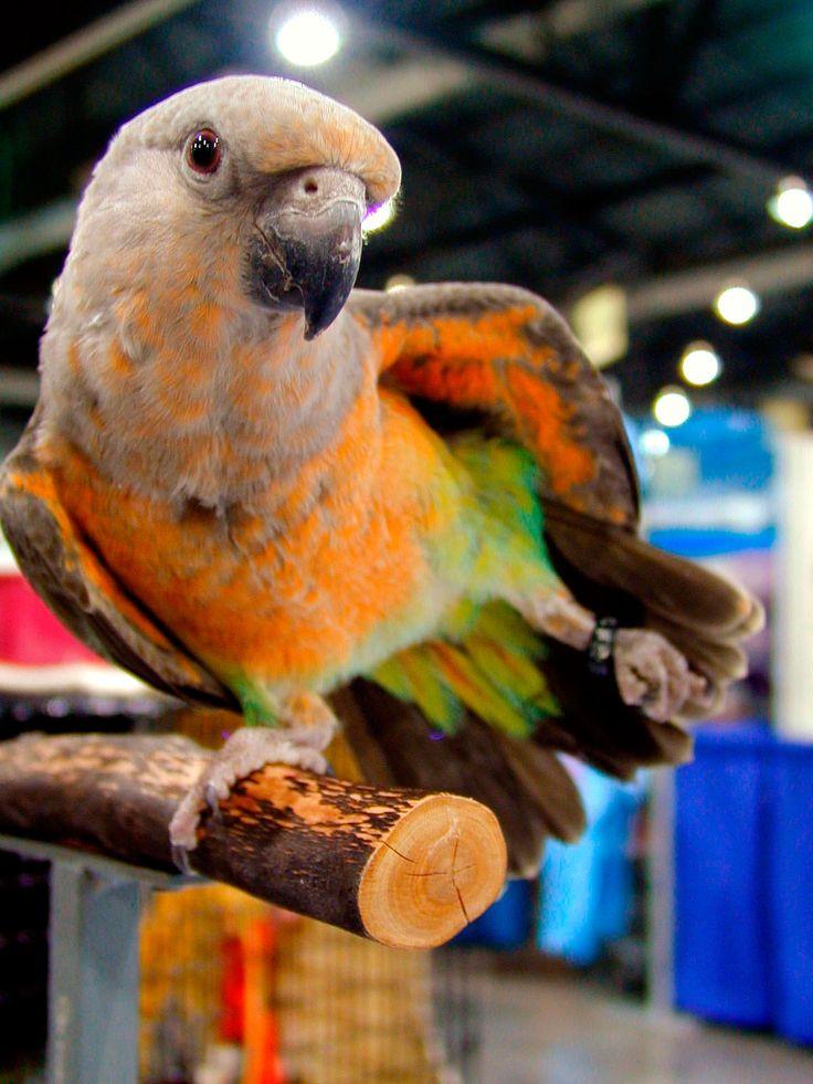 Lorito Ventrirrojo (Poicephalus rufiventris) --> De 22 cm. de longitud y un peso medio de 130 gramos. Tiene la corona, nuca y lores de color marrón ceniza, las mejillas a veces con puntas naranjas; coberteras auriculares ligeramente más pálidas. Manto y escapularios de color marrón ceniza; la espalda de color negro azulado; grupa azul iridiscente pálido o verde azulado. Por arriba, la alas ligeramente más oscuras que la cabeza y la espalda: las primarias marrones.