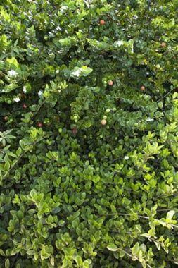 Жасмин кустарниковый : лекарственное растение, применение, отзывы, полезные свойства, противопоказания