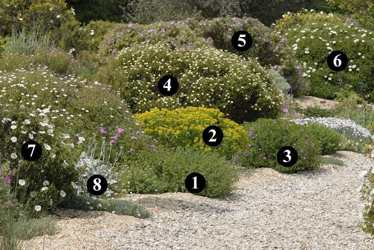 1 : Origanum laevigatum  2 : Euphorbia coralliodes  3 : Geranium sanguineum  4 : Cistus monspeliensis f. flavescens 'Vicar's Mead'  5 : Cistus albidus  6 : Cistus x verguinii 'Paul Pècherat'  7 : Cistus x stenophyllus  8 : Centaurea ragusina