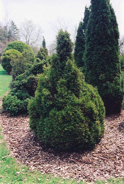 """Thuja occidentalis """"Brabant"""" - Brabant White Cedar"""