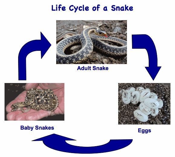 illustration of reptile life cycle   Snakes   Science_SS ...