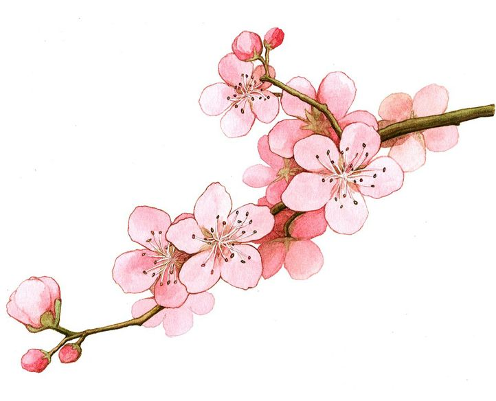 벚꽃 일러스트 - Google Search