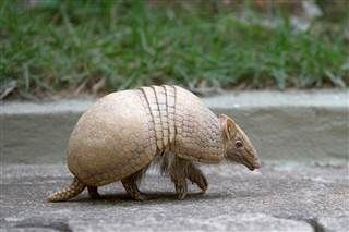 Poetic justice... :: Texas Man Injured After Bullet Ricochets Off Armadillo ::  An East Texas man was wounded after he fired a gun at an armadillo in his yard and the bullet ricocheted back to hit him in his face, the county sheriff said on Friday.