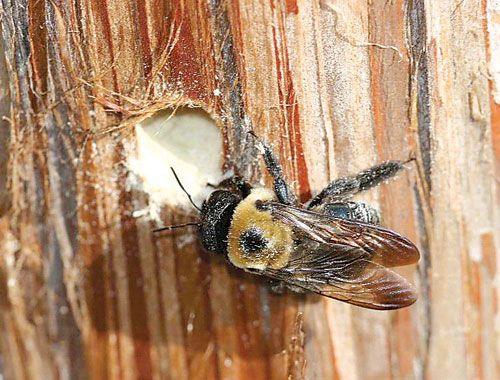Tiny Piles Of Sawdust Found In Random Spots Are Likely Caused By Large Wood Drilling Insects Called Carpenter Bees