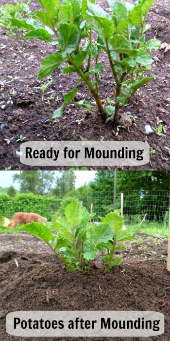 Pioneering Today-How to Plant and Grow Potatoes - Melissa K. NorrisMelissa K. Norris
