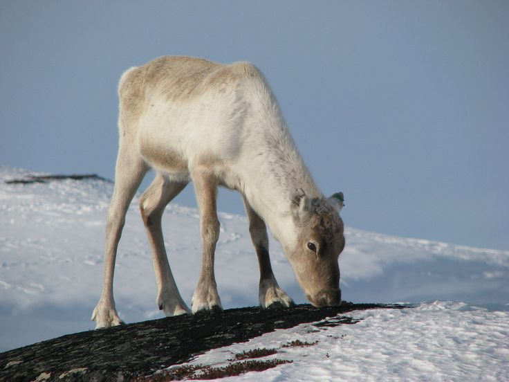 Young reindeer in Sulitjelma, Fauske