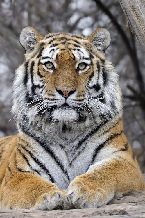 Majestic Tigress by: (Josef Gelernter) ~