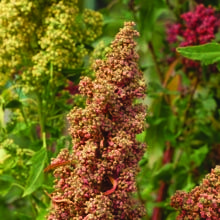 Growing Quinoa from Seed - How to Grow Quinoa from Seed - West Coast Seeds