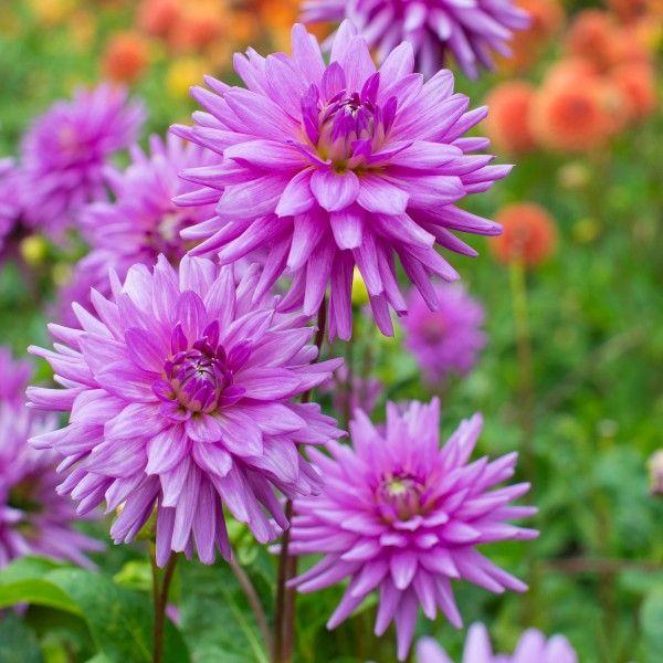 Lila Dahlie 'Worton Blue Streak' blüht in hellem Violett. Ein außergewöhnlicher Farbton, der auffällt. Pflanzzeit für die Knollen it im Frühling - online erhältlich bei www.fluwel.de