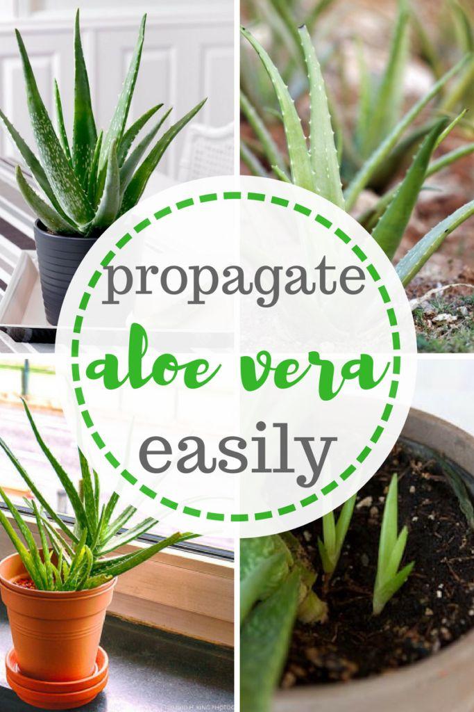 Propagate Aloe Vera--Easily!   Gardening, Gardening Hacks, Aloe Vera, How to Grow Aloe Vera, How to Propagate Aloe Vera