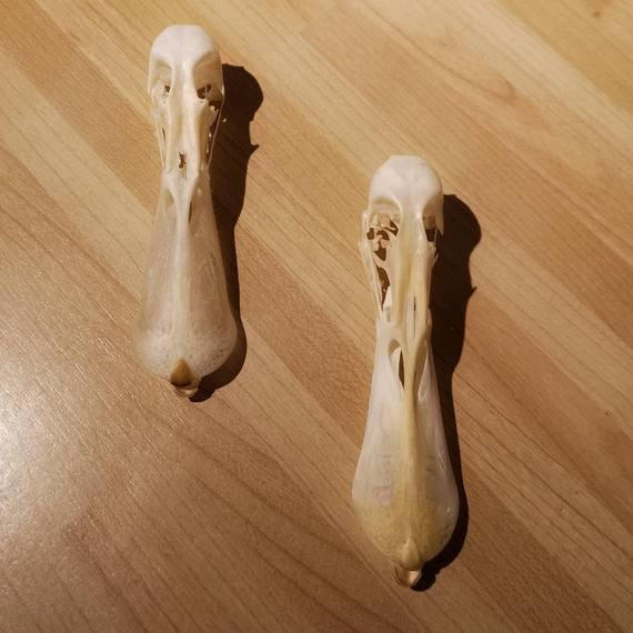 Domestic FARM DUCK Bird skull Taxidermy REAL