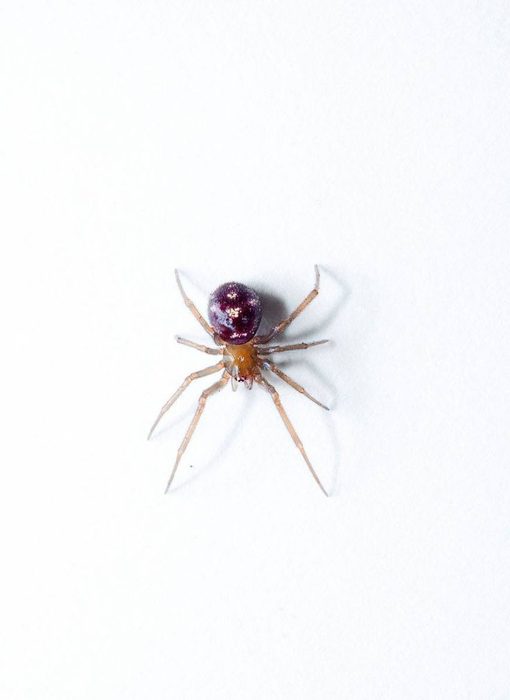 can black widow spiders kill you - 736×1011