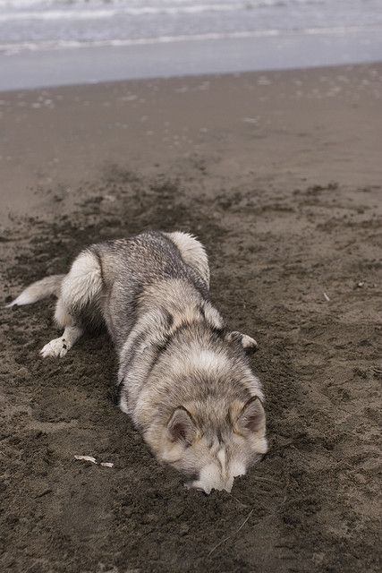 ears to the ground by Emily Hoyer #Husky #dog