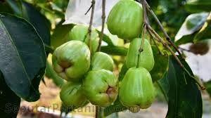 Jambu Air (Indonesia), Watery Rose Apple. Syzygium Aqueum. the fruits taste is sweet hmm ..