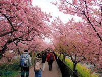 川沿いに展開する河津桜のトンネル